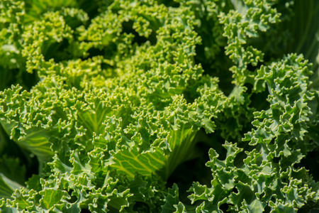 sourced: close up of a leaf of fresh organic kale with an interesting pattern and texture on top of the leaf Stock Photo