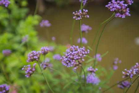 blur, Background from tender soft violet little flowers, out of focus Stock Photo