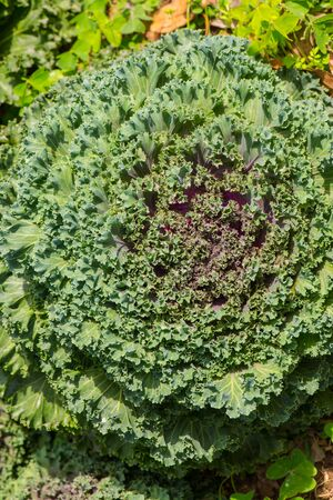 close up of a leaf of fresh organic kale with an interesting pattern and texture on top of the leaf Stock Photo