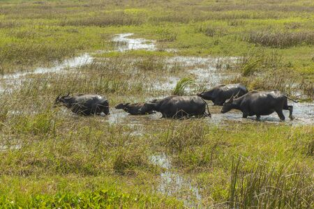 masses: Water Buffalo masses in Wetland at Talay Noi, Phatthalung Province in Southern Thailand Stock Photo