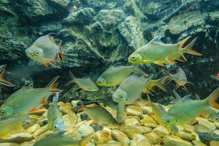 freshwater: Freshwater fish ,in the Bungchawak Aquarium of Supanburi Province, Thailand