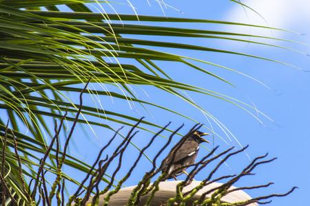 common myna bird: Common myna (acridotheres tristis) bird on coconut tree, background blue sky Stock Photo
