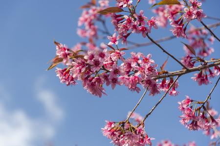 Sakura flowers blooming blossom in Phu-Lom-Lo, Loei Province, Thailand