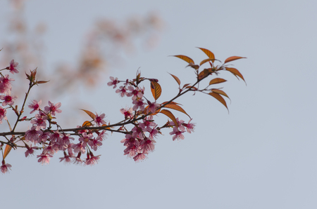 loei: Sakura flowers blooming blossom in Phu-Lom-Lo, Loei Province, Thailand