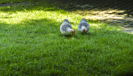 White hens on the green grass Stock Photo