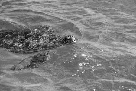seafan: Green turtle at sea surface, Similan Island, Thailand Stock Photo