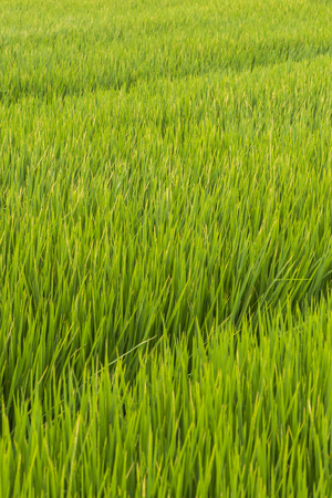 Green rice field at sunrise, Sensitive focus Stock Photo