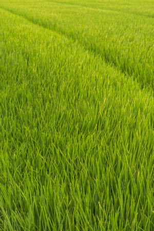 Green rice field at sunrise, Sensitive focus Stock Photo