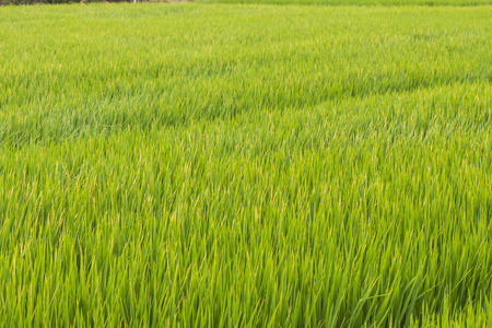 Green rice field at sunrise, Sensitive focus 版權商用圖片