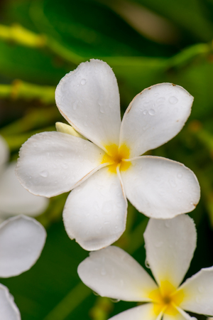 tonga: Close up white Plumeria or Frangipani flowers  with water drop in the park. Sensitive Focus