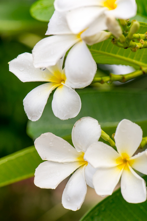 tahitian: Close up white Plumeria or Frangipani flowers  with water drop in the park. Sensitive Focus