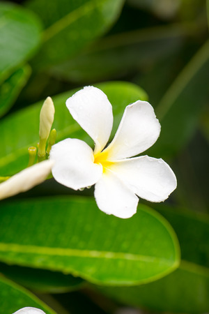 Close up white Plumeria or Frangipani flowers  with water drop in the park. Sensitive Focus