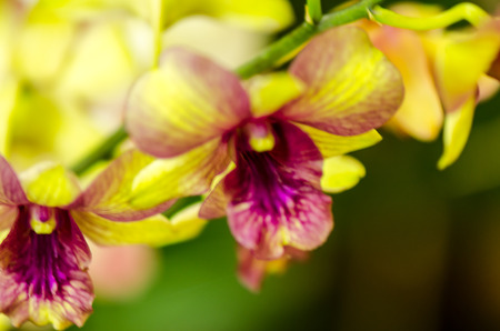 Close-up of yellow-pink orchid flower. Zen in the art of flowers. Macro photography of nature., Sensitive Focus. Stock Photo