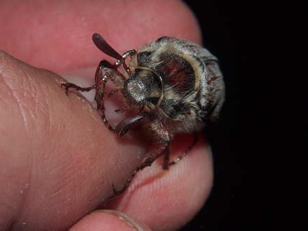 Chafer on a persons hand. Macro. The insect pest.