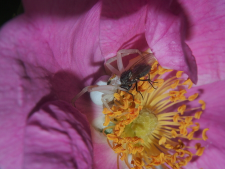 he: Little spider is sitting in a Bud of rose hips. He caught the fly and eats it. Macro.