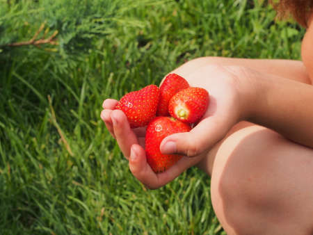 Large strawberries in a childs hand. Harvest. Macro.