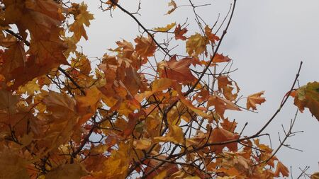 Crown maple in the autumn in the sky. Yellow maple leaves. The leaf fall. The autumn trees. Stock Photo