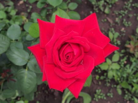 Blossoming Bud of a red rose. Decorative flower. Close-up.