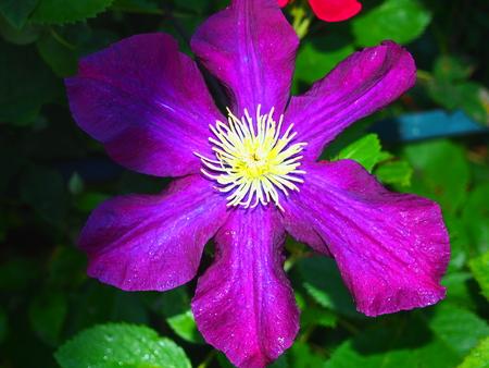 Full bloom of clematis. Climbing garden flower. Close-up