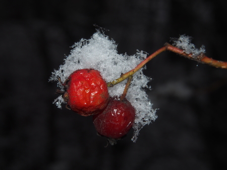 The red berries of the hawthorn, covered with wet snow. Large crystals of snow on the berries. Close-up. Stock Photo
