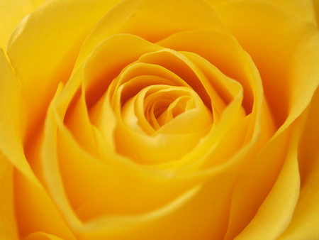 A rose Bud. Expanded yellow flower petals. Macro.