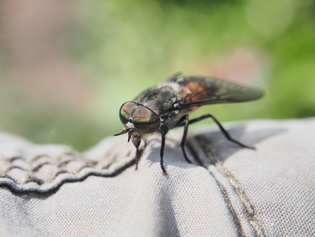 Horsefly. The insect is sitting on a man's clothes. Bloodsucking insect. Macro mode.