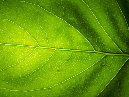 Green leaf of the plant to the lumen. The structure of the plant leaf. Macro mode. Stock Photo