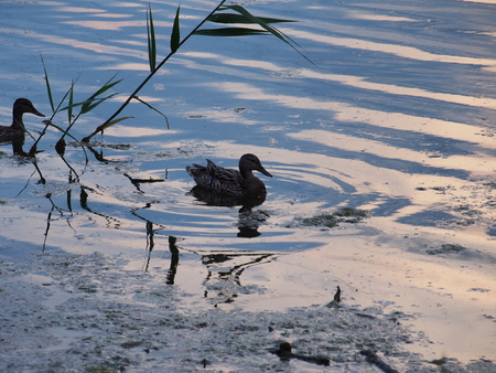 Wild ducks swim on the surface of the pond. Photo of birds. Stock Photo