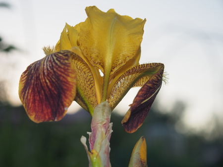 In full bloom the iris is yellow. Garden flower. Close up.