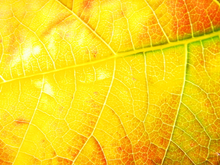 Close-up of fallen autumn leaf. You can see the structure of the sheet. Defoliation. Macro mode.