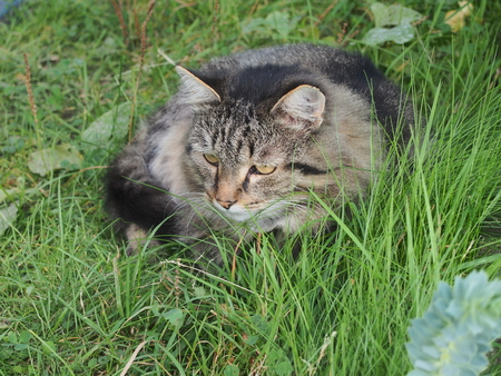 Cat lies in the grass. Visible muzzle cat with her eyes. Photo of the animal. Stock Photo