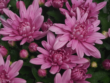 Flowering chrysanthemum Bush. The buds are a light lilac color. Close up.