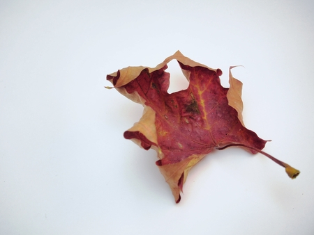 Dry fallen maple leaf on white background. Defoliation. Close up.