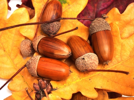 Acorns lie on the yellow fallen leaves of oak. Photo on white background. Close up.