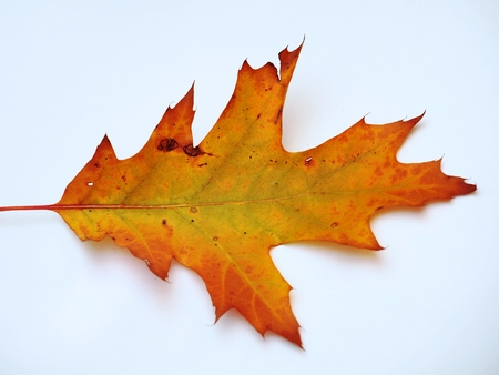Yellow fallen oak leaf on white background. Close up.