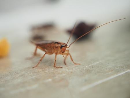 Una cucaracha pegada al papel pegajoso. Insecto doméstico. De cerca.