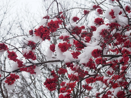Bunches of Rowan berries under the snow. After snowfall. Winter.