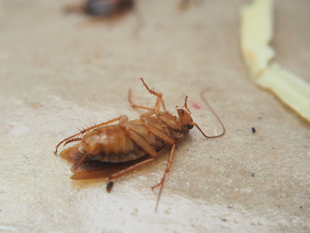 Dead cockroach lying on sticky paper. The corpse of the insect. Macro photography. Stock Photo