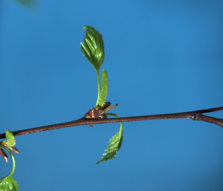 Blossoming leaves of a tree. Its spring. Photo on a blue background. Close up. Imagens