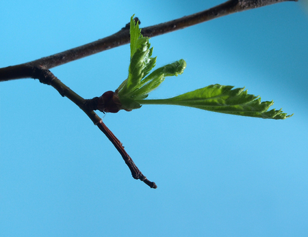 Blossoming leaves on a tree branch. It's spring. Close up.