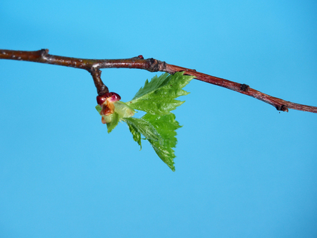Blossoming leaves on a tree branch. Its spring. Close up. 스톡 콘텐츠
