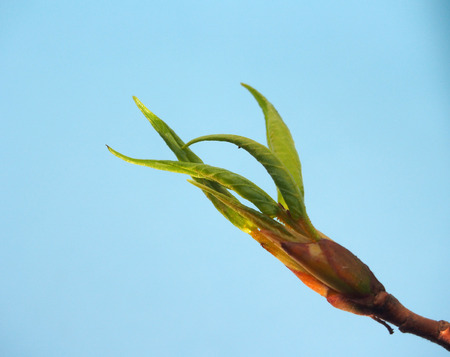 Blossoming leaves on a tree branch. Its spring. On a blue background. Close up. Imagens