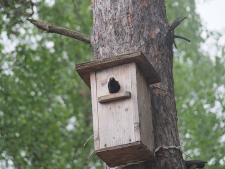 Starling near the birdhouse. Artificial bird's nest. Wildlife. Stockfoto