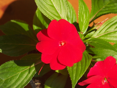 Red flower buds of the balsam. Flowering plants. Floriculture.