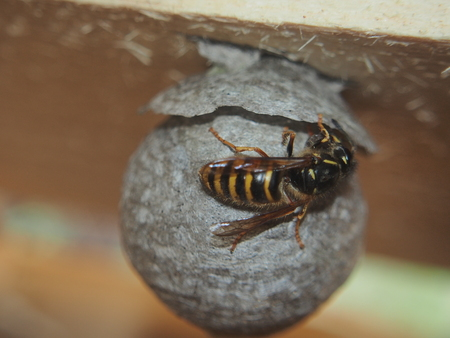 The wasp builds a spherical nest. Dangerous insect. Animal. Foto de archivo