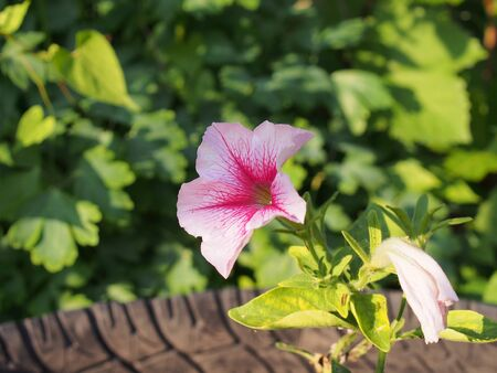 Red, white, pink buds of Petunia flowers. Gardening. Close up.