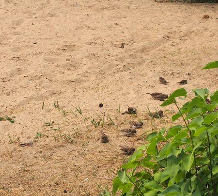 A flock of sparrows resting on the sand. Birds bathe in the sand. Wild bird.