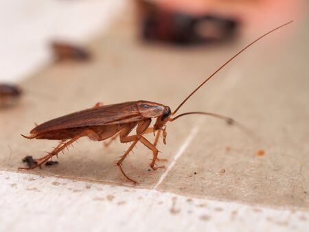 A cockroach stuck to sticky paper. Home of the harmful insect. Close up.