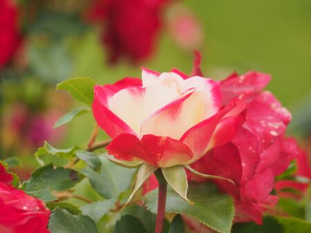Pink and white rose Bud petals. Flowering plants. Close up.