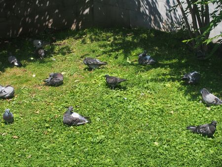 A flock of pigeons resting on the grass. Birds bask in the sun. Summer. Wildlife.